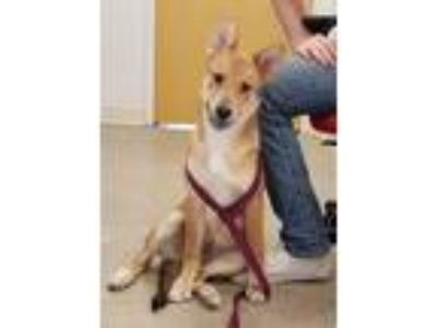 Adopt Foxie a White - with Tan, Yellow or Fawn German Shepherd Dog / Mixed dog