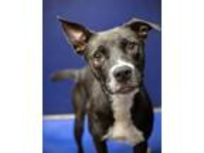 Adopt Shelia a Black - with White Labrador Retriever / Mixed dog in Henderson