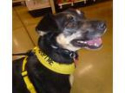 Adopt Mila a Black - with Tan, Yellow or Fawn Corgi / Miniature Pinscher / Mixed