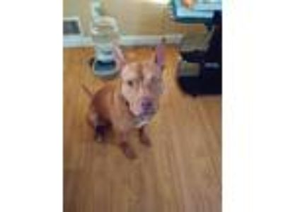 Adopt Sonny a Red/Golden/Orange/Chestnut - with White Pit Bull Terrier / Mixed