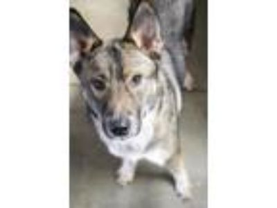 Adopt Zeus a German Shepherd Dog, Husky