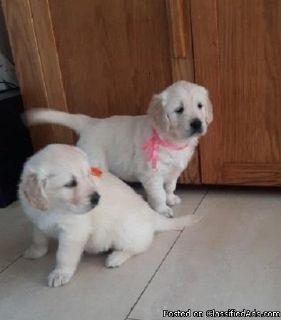 Cool Golden retriever puppies