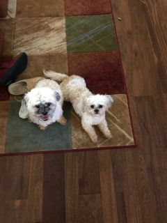 Small Maltese and Small Shihpoo
