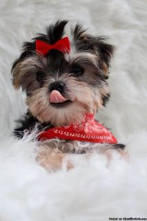 Tiny Teacup Doll Face Morkie Puppies Ready
