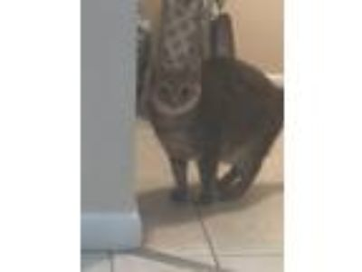 Adopt Layla a Gray or Blue American Shorthair / Mixed cat in Palm Bay