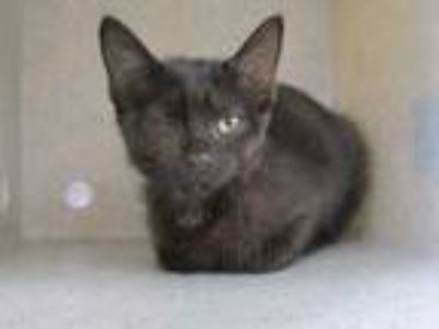 Adopt Popeye a All Black Domestic Shorthair / Domestic Shorthair / Mixed cat in