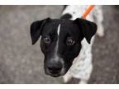 Adopt Freckles a Pointer, Rat Terrier