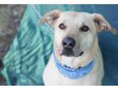 Adopt John Boy a Yellow Labrador Retriever