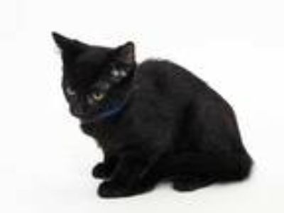 Adopt BILL a All Black Domestic Shorthair / Mixed (short coat) cat in St.