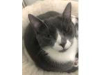 Adopt Petrie a Gray or Blue (Mostly) Domestic Shorthair (short coat) cat in Bay