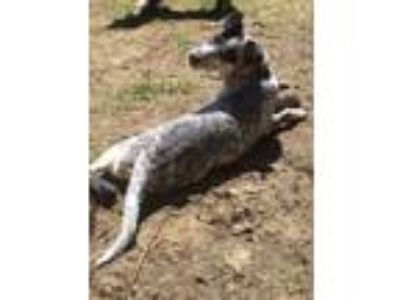 Adopt Jaxon a Australian Cattle Dog / Blue Heeler