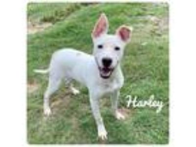 Adopt HARLEY a Terrier (Unknown Type, Small) / Mixed dog in Ocala, FL (25349058)