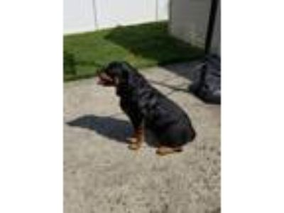 Adopt Marley a Black - with Tan, Yellow or Fawn Rottweiler / Mixed dog in
