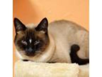 Adopt Finch a Siamese / Mixed cat in Pleasant Hill, CA (25128817)
