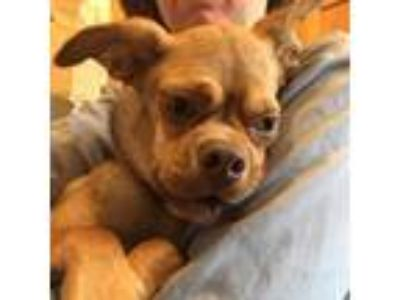 Adopt Grace a Brown/Chocolate Pug dog in Island Park, NY (23991952)