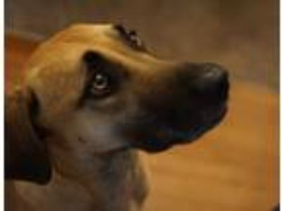 Adopt Latte a Red/Golden/Orange/Chestnut - with Black Black Mouth Cur / Mixed