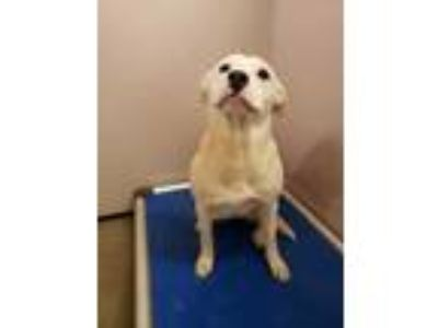 Adopt Janica a White American Pit Bull Terrier / Mixed dog in Louisburg