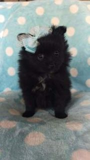 Pomeranian PUPPY FOR SALE ADN-105076 - Mia the Pomeranian