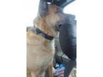 Adopt Titan a Tan/Yellow/Fawn Shepherd (Unknown Type) / American Pit Bull