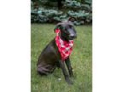 Adopt Mindy a Labrador Retriever, Terrier