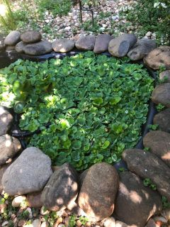 Organic Water lettuce for pond