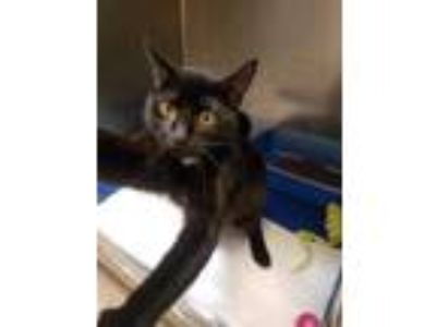 Adopt Darnell a All Black Domestic Shorthair / Domestic Shorthair / Mixed cat in