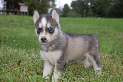 Siberian Husky PUPPY FOR SALE ADN-96045 - Cutest Puppies EVER