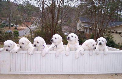 akc labrador puppies for sale