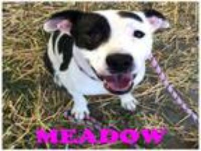 Adopt MEADOW a Pit Bull Terrier, Mixed Breed