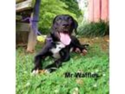 Adopt Mr Waffles a Black Labrador Retriever dog in Madisonville, TN (25891354)
