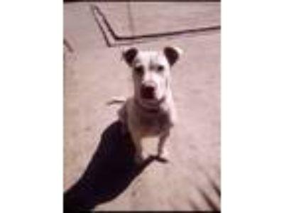 Adopt Luna a White American Pit Bull Terrier dog in Stockton, CA (25627618)
