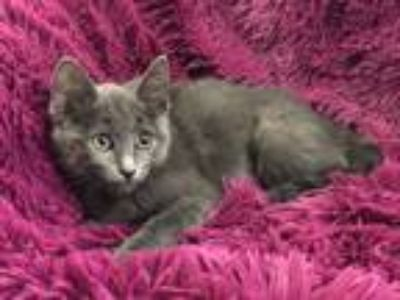 Adopt ANASTASIA - SWEET AND FUN! a Gray or Blue Russian Blue (short coat) cat in