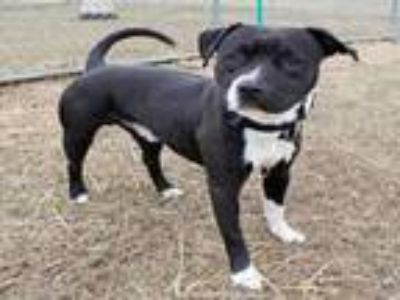 Adopt TURBO a Pit Bull Terrier