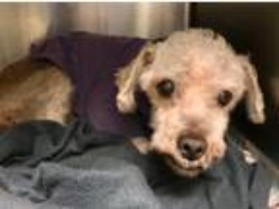 Adopt 2 Seniors Poodles in Danger a White Poodle (Toy or Tea Cup) / Mixed dog in