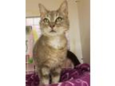 Adopt Mayfire a Gray, Blue or Silver Tabby Domestic Shorthair (short coat) cat