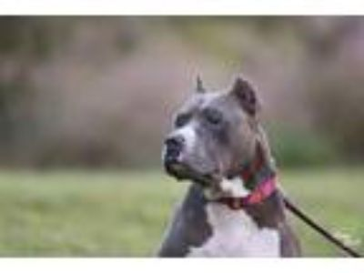 Adopt Jenny a Gray/Blue/Silver/Salt & Pepper American Pit Bull Terrier / Mixed