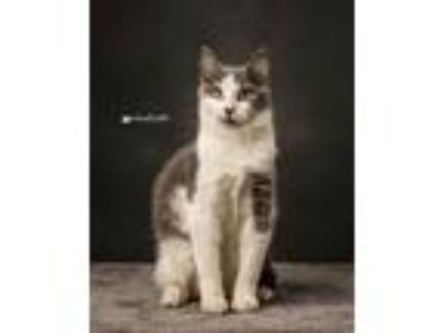 Adopt Daryl a White (Mostly) Domestic Shorthair (short coat) cat in Sioux Falls
