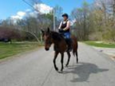 Adopt Irish Legs a Thoroughbred