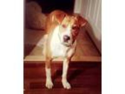 Adopt Hank a Tan/Yellow/Fawn - with White Pit Bull Terrier / Mixed dog in
