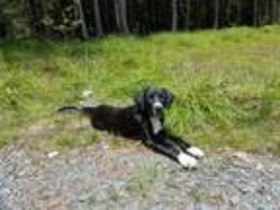 Adopt Rosebud a Black - with White Retriever (Unknown Type) / Hound (Unknown