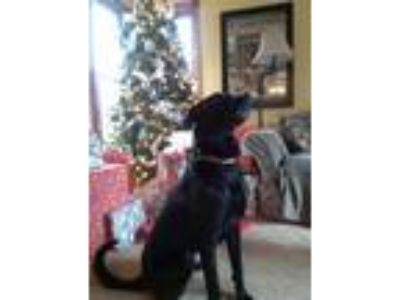 Adopt Jemma a Black Labrador Retriever / Boxer / Mixed dog in Grand Haven