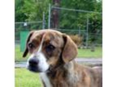 Adopt Meredith a Brown/Chocolate Plott Hound / Mixed dog in Tyler, TX (25052600)