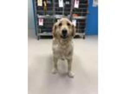 Adopt Polly a Golden Retriever, Labrador Retriever
