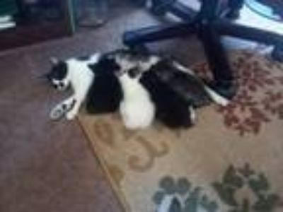 Adopt Sophie a Black & White or Tuxedo Domestic Shorthair / Mixed cat in Monroe
