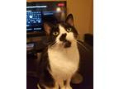 Adopt Oliver a Black & White or Tuxedo Domestic Mediumhair cat in North Little