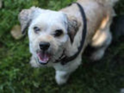 Adopt # EDWIN a Tan/Yellow/Fawn Shih Tzu / Mixed dog in San Jose, CA (25610765)