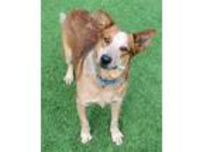 Adopt Skeeter a Tan/Yellow/Fawn Australian Cattle Dog / Mixed dog in