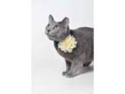 Adopt 17-1654C Gracie a Gray or Blue Domestic Shorthair / Domestic Shorthair /