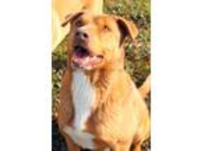 Adopt Bugsy a Red/Golden/Orange/Chestnut - with White Australian Shepherd /