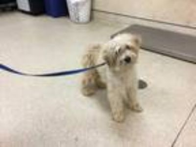 Adopt Dog a White Poodle (Miniature) / Mixed dog in Jurupa Valley, CA (25557902)
